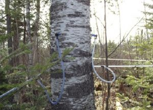 Birch Tree With Lines