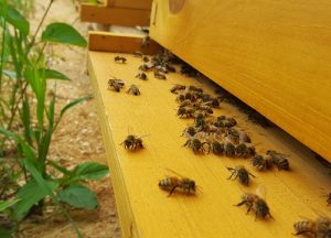 Honey Bees on Hive Box